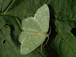 Common Emerald (Hemithea aestivaria)