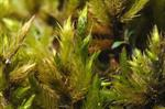Yellow Feather-moss (Homalothecium lutescens)
