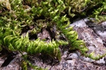 Silky Wall Feather-moss (Homalothecium sericeum)