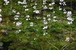Water Violet (Hottonia palustris)