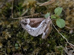 Beautiful Snout (Hypena crassalis)