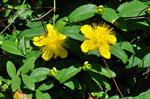 Rose-of-Sharon, Aaron´s Beard (Hypericum calycinum)