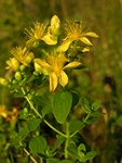Imperforate St. Johns-Wort (Hypericum maculatum)