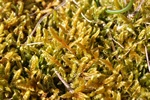 Cypress-leaved Plait-moss (Hypnum cupressiforme)