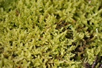 Heath Plait-moss (Hypnum jutlandicum)