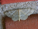 Fan-footed Wave (Idaea biselata)