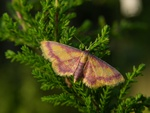 Purple-bordered Gold (Idaea muricata)
