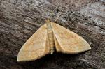 Bright Wave (Idaea ochrata)