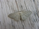 Small Dusty Wave (Idaea seriata)