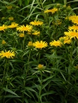 Narrow-leaved Inula (Inula ensifolia)