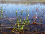 Floating club-rush (Isolepis fluitans)