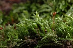 Larger Mouse-tail Moss (Isothecium alopecuroides)