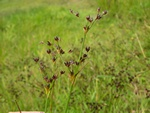 Jointed Rush (Juncus articulatus)