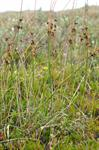 Baltic Rush (Juncus balticus)
