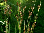 Round-Fruited Rush (Juncus compressus)