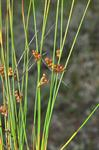 Thread Rush (Juncus filiformis)