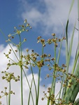 Blunt-Flowered Rush (Juncus subnodulosus)
