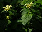 Yellow Archangel (Lamiastrum galeobdolon ssp. galeobdolon)
