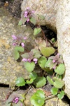 Red Deadnettle (Lamium purpureum)