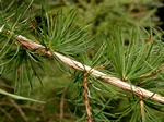 Larix occidentalis