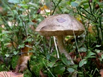 Brown Birch Bolete (Leccinum scabrum)