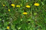 Rough Hawkbit (Leontodon hispidus)