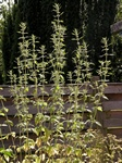 False Motherwort (Leonurus marrubiastrum)