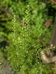 Narrow-Leaved Pepperwort (Lepidium ruderale)