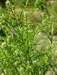Least Pepperwort (Lepidium virginicum)