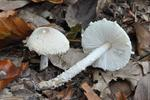 Shield Dapperling (Lepiota clypeolaria)