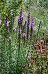 Gay Feathers (Liatris spicata)