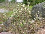 Small Cudweed (Logfia minima)
