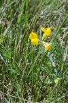 Narrow-leaved Bird´s-foot Trefoil (Lotus glaber)