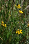 Greater Birds-foot Trefoil (Lotus pedunculatus var. pedunculatus)