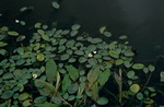 Floating Water-plantain (Luronium natans)