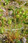 Many-flowered Wood-rush (Luzula multiflora ssp. multiflora)