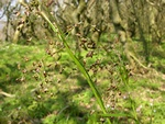 Great Wood-Rush (Luzula sylvatica)