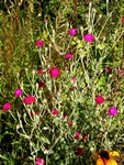 Rose Campion (Lychnis coronaria)