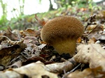 Spiny Puffball (Lycoperdon echinatum)
