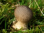 Dusky Puffball (Lycoperdon nigrescens)