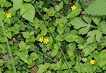 Yellow Pimpernel (Lysimachia nemorum)