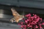 Humming-bird Hawk-moth (Macroglossum stellatarum)