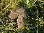 Fox Moth (Macrothylacia rubi)