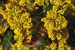 Oregon Grape (Mahonia aquifolium)