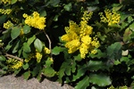 Dwarf Oregon-grape (Mahonia nervosa)