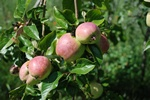 Apple (Malus sylvestris)