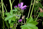 Common Mallow (Malva sylvestris)