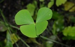 European waterclover (Marsilea quadrifolia)