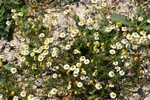 Scanted Mayweed (Matricaria recutita)