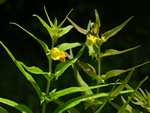 Small Cow-Wheat (Melampyrum sylvaticum)